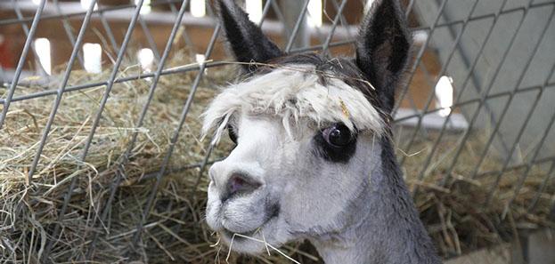 Face of alpaca