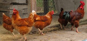 Healthy Chickens in Chicken Coop