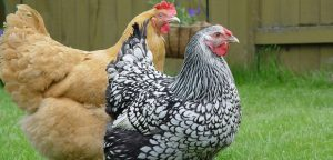 Blond and Black and White Chicken