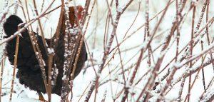 Chicken in winter