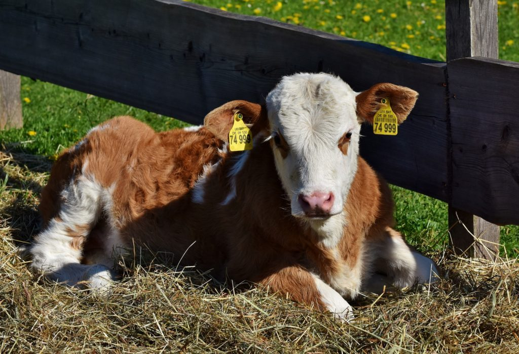calf laying on bedding