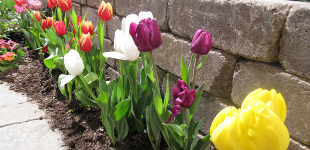 beautiful row of garden tulips