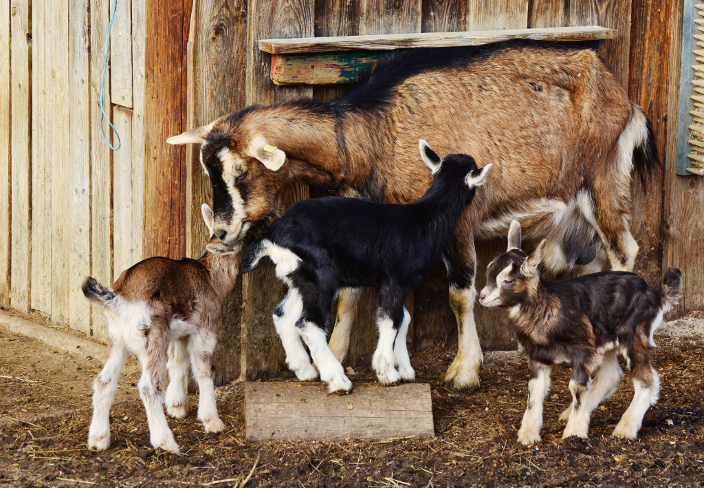 family of goats