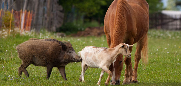 goat with horse and boar