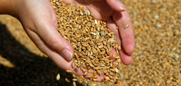 grain flowing through hand