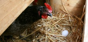 Laying hen overlooking her egg
