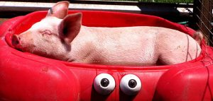 Pet Pigs in a Red Kiddie Pool