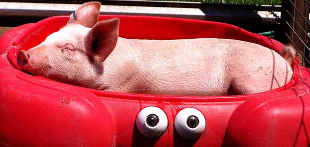 Pet Pigs in a Red Kiddie Pool