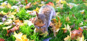 Squirrel surrounded by Fall leaves
