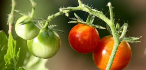 Easy to grow tomatoes
